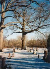 Cemetary Black Oak is an Ontario Provincial Champion